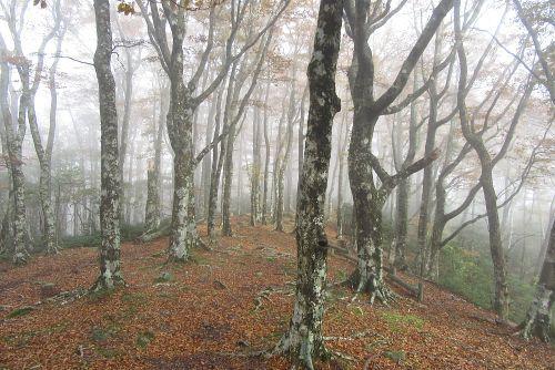 小岳のブナ林