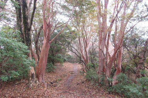 ヒメシャラの並木