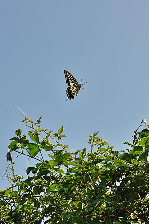 アゲハが飛ぶ
