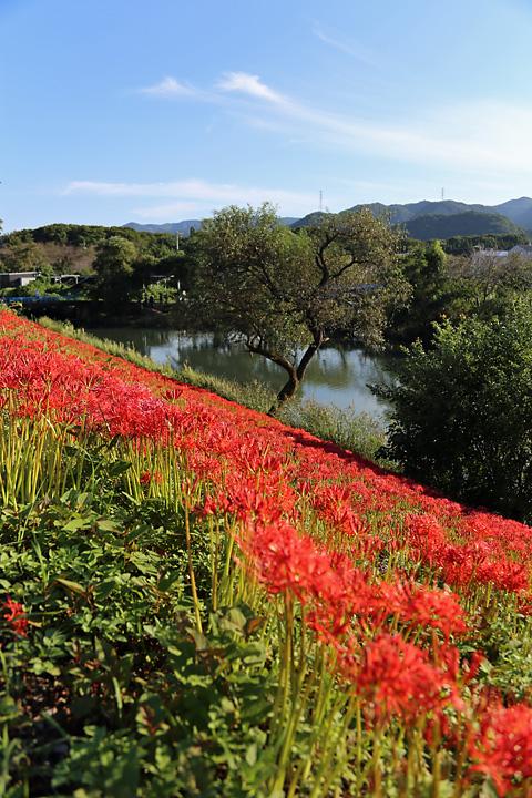 津屋川の花
