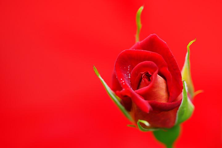 赤と赤いバラ