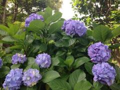 長谷寺のよこっちょの紫陽花