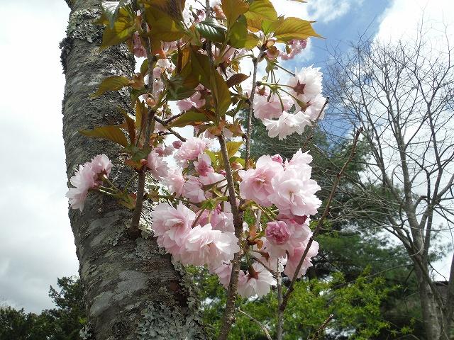 八重桜かなDSCF6603