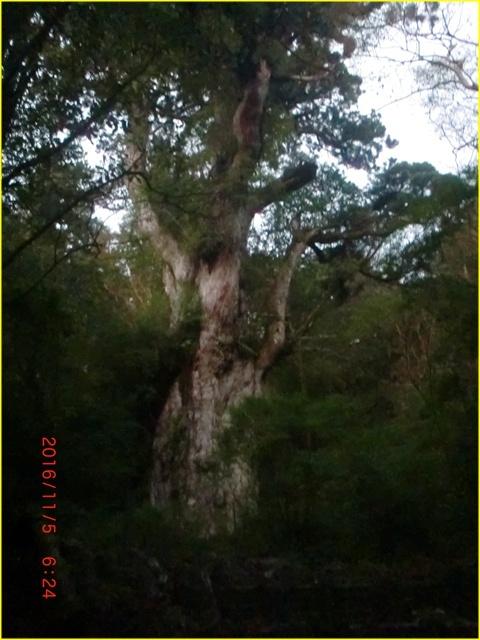 050 縄文杉
