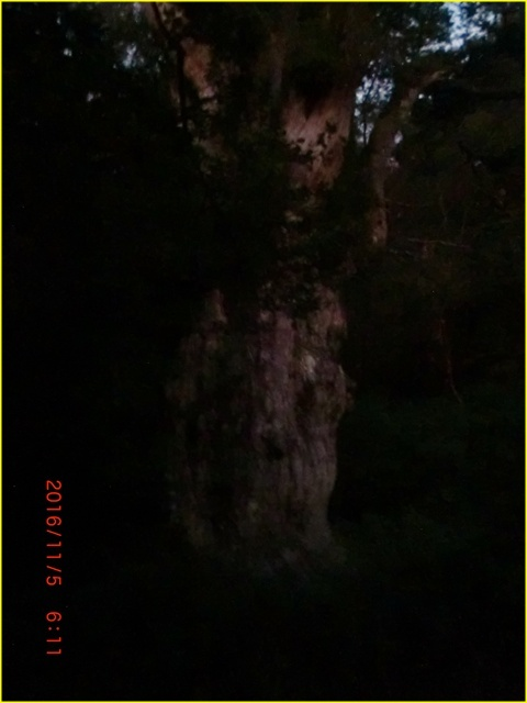 049 縄文杉