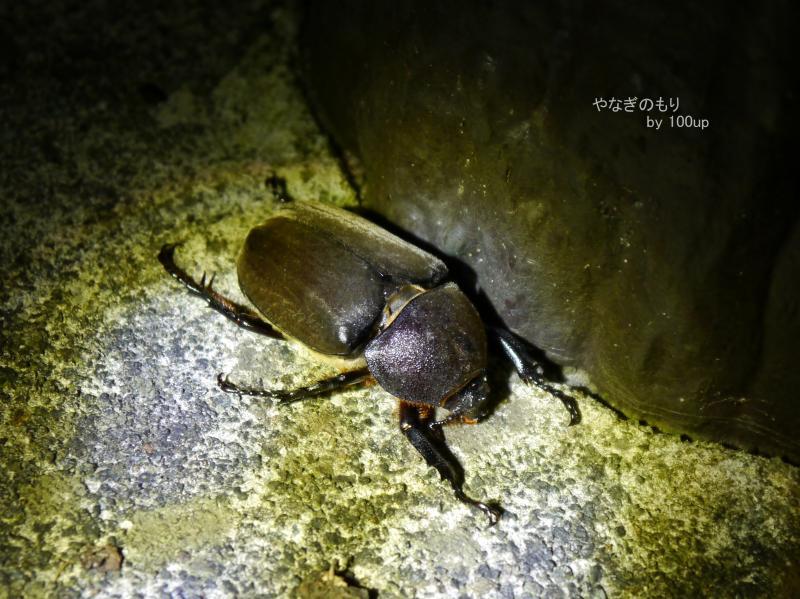 2016年8月7日撮影 新潟県街灯採集