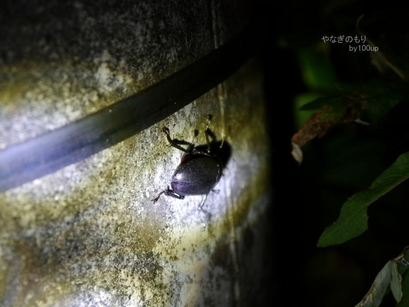2016年8月8日撮影 新潟県『コクワガタ』