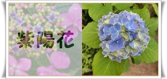 紫陽花28ブログ1