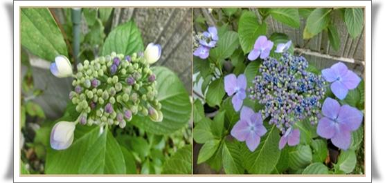 紫陽花ブログ2
