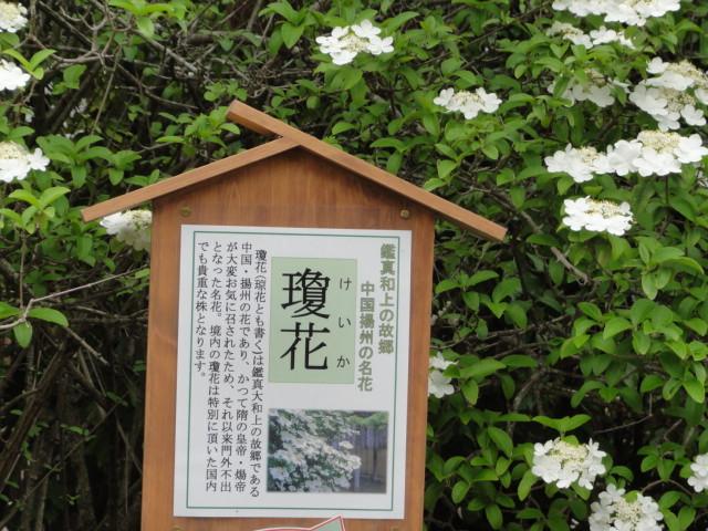 2016年4月25日 唐招提寺 瓊花の説明