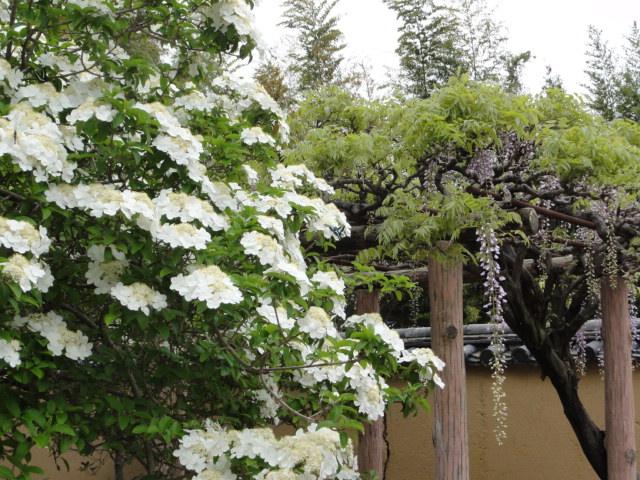2016年4月25日 唐招提寺 瓊花と藤の花