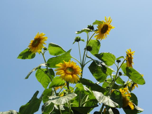 2016年7月31日撮影 京都府立植物園 向日葵の花