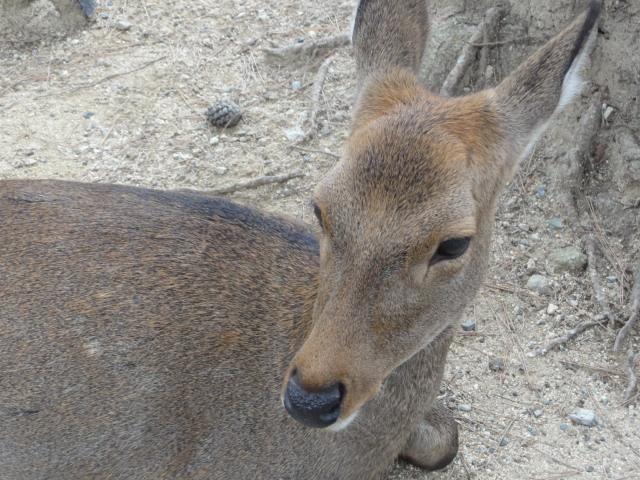 2016年10月28日撮影 奈良の鹿