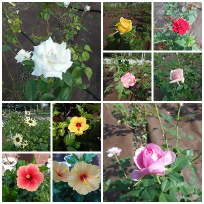 薔薇とハイビスカス