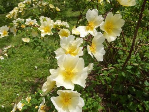 Gold Rose2