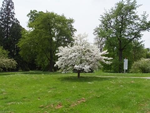 前方の白い木