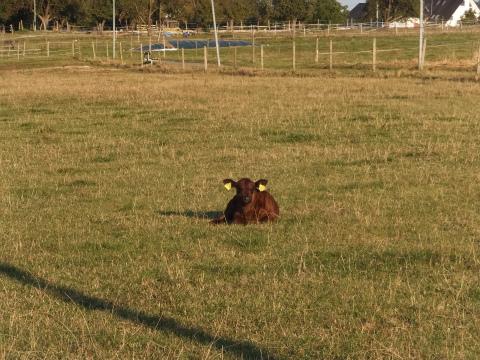 近所の牛2