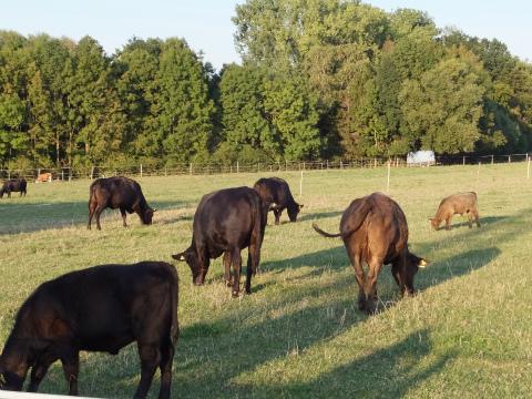 近所の牛1