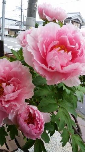 牡丹の花 2016 4 15 (友人より)