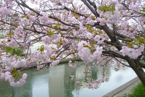 牡丹桜 2016 4月 (mt.okuho)