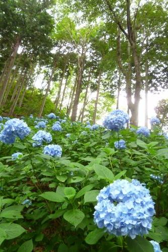 救馬渓観音  あじさい曼荼羅園  2016 6 7 (mt.okuho)