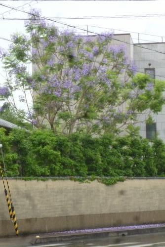 ジャカランダの花 (WAKAYAMA) 2016 6 12 (mt.okuho)