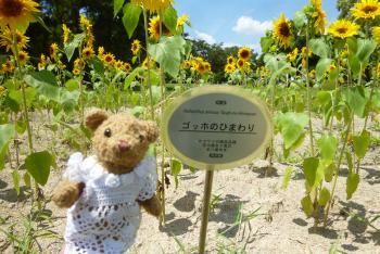 万博記念公園 ひまわりフェスタ 2016 8 7 (日) (mt.okuho)