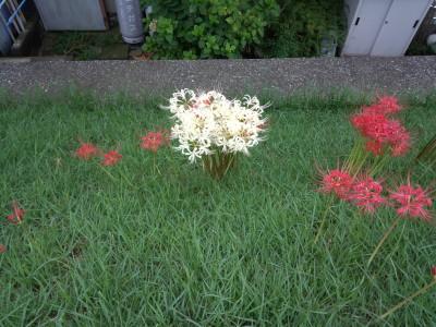 photo_akinohana_0928_turumigawa_6_2016_0928.jpg