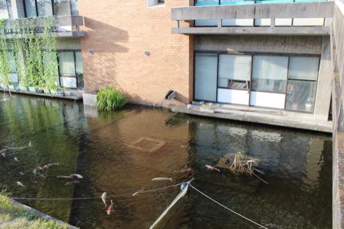 0161:羽島市庁舎 本庁舎南側の池に鯉が泳ぐ