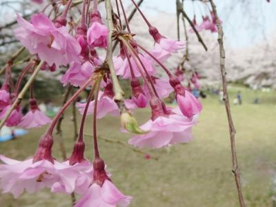 満開の花見