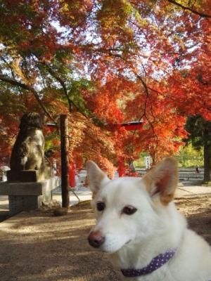 神社の紅葉 (7)