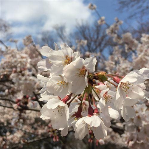 ゆうブログケロブログ花見と春 (2)