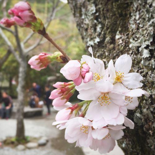 ゆうブログヶロブログ鎌倉2016春 (2)