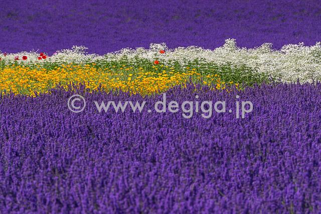 ラベンダーの絨毯と夏の花のライン(夏色ガーデンより)