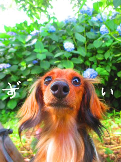 2016-6-ajisai10.jpg