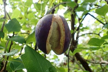ミツバアケビの紫色の果実