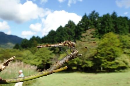 シオカラトンボ(雌)