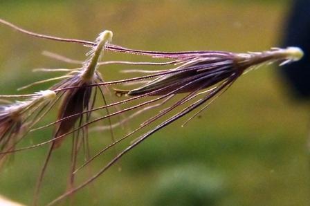 チカラシバの小穂