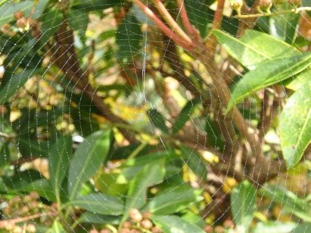 PA310038コヤマシロオニグモの網