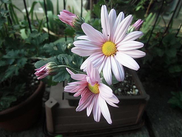 一番花が咲きました