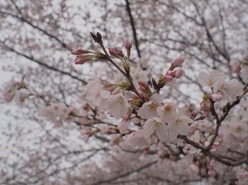 お花見その1-20160402-6