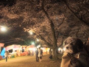 夜桜20160403-5