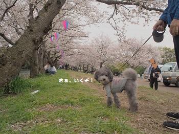 お花見20160409-6