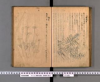 箱根七湯志より梅草