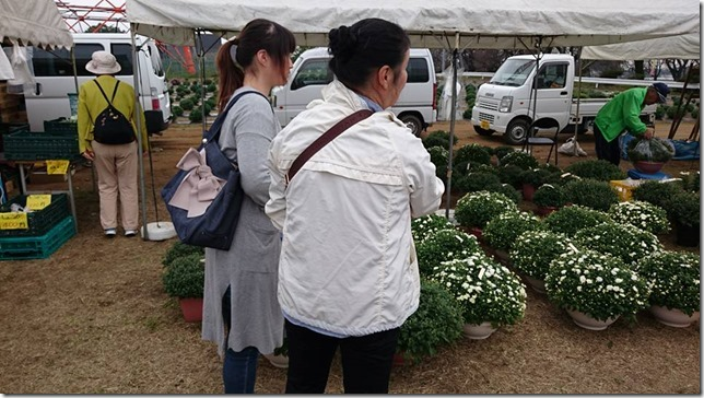 小菊の里、開花状況 (H28/10/22)