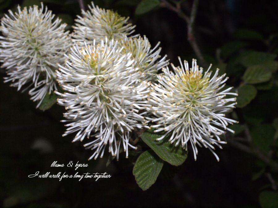 白花まんさく1