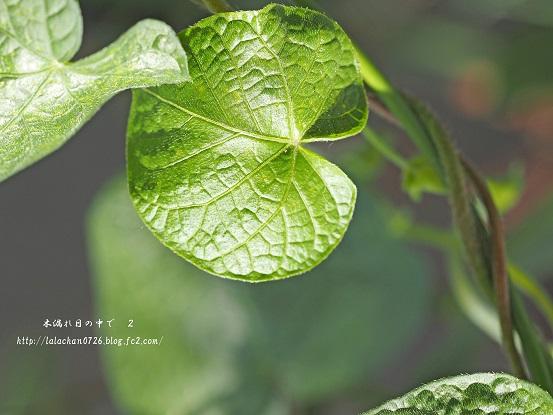 アサガオの葉っぱ