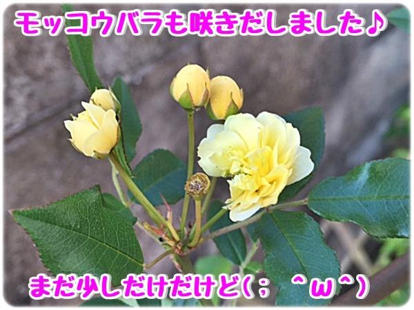 モッコウバラも咲き出しました
