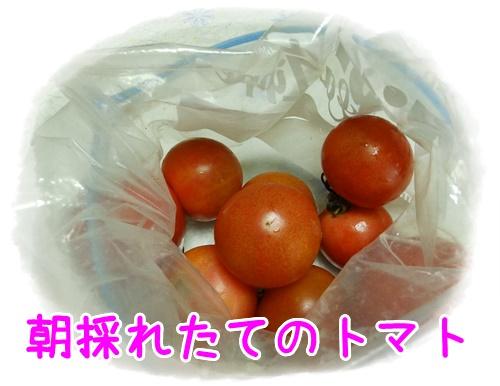 朝採れたてのトマト