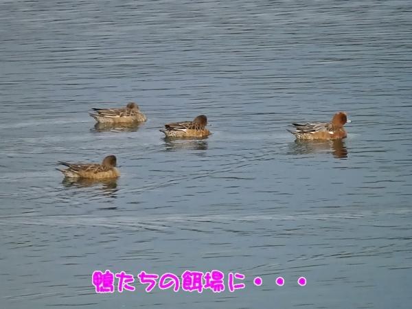 鴨たちの餌場